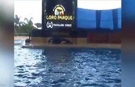 Killer Whales Mysterious Injury At Seaworld Videos