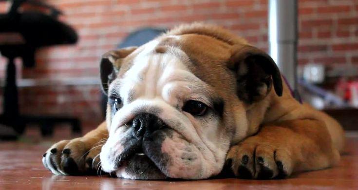 Angry English Bulldog - Videos - Metatube