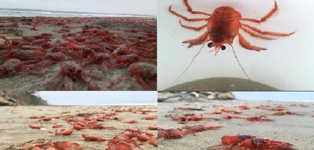 Foto: Twitter @Tijuanense, @El Frontera y @Jose Ibarra Amador - See more at: http://www.sandiegored.com/noticias/63916/Langostas-muertas-en-Playas-de-Tijuana/#sthash.RbzYewhc.dpuf