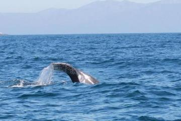 Grey Whales Are Back in Ensenada!