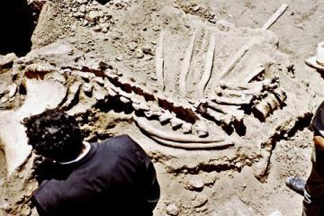 Hace 50 años se encontró restos de un mastodonte en Tijuana