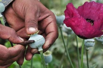 Opium poppy will now be legal