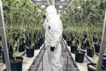 Cerveza Corona invertirá millones en el negocio de la marihuana