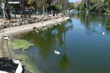 Lago de Parque Morelos es verde por esta razón