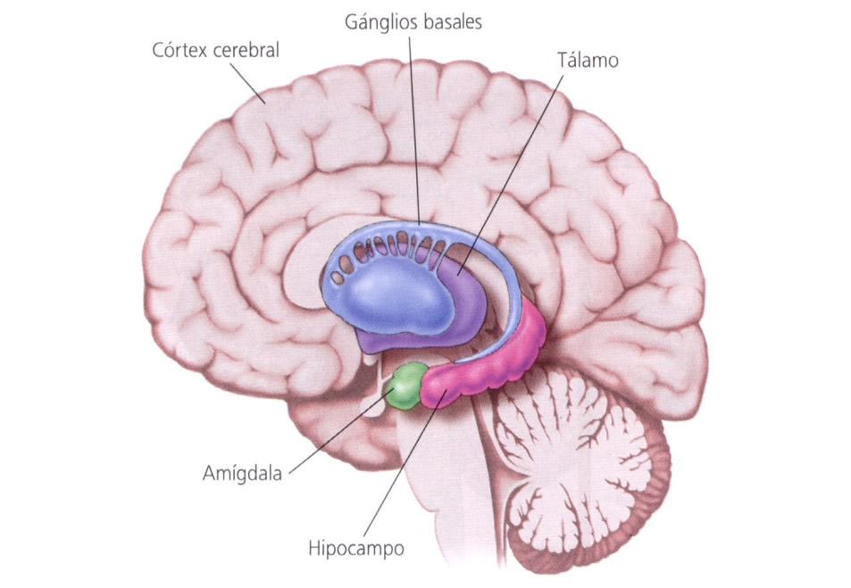 Perfecto Anatomía Cerebral De La Amígdala Bandera - Imágenes de ...