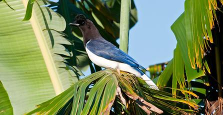 Descubren pájaro en Brasil que suena como un videojuego