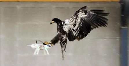 Policía Holandesa entrena águilas para atrapar drones en el aire