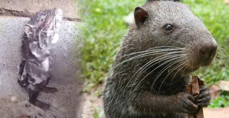 """El video viral de la """"<em>rata bañándose</em>"""" no es lo que parece"""