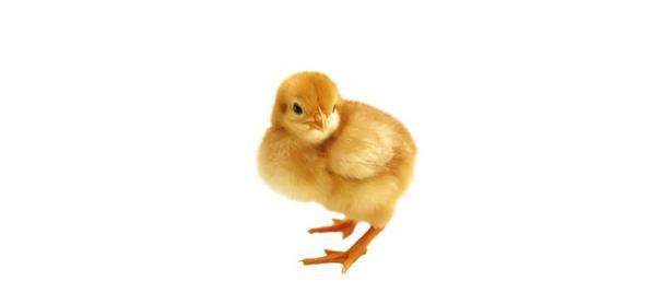 Arrestan a hombre en China por robar pollos para jugar <em>PUBG</em>