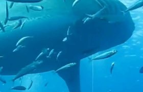 VIDEO: Attack of world's largest Shark