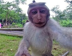 Monkey thief becomes famous for taking selfie