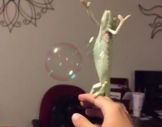 Chameleon loves pop bubbles