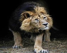 Lion plays for first time on grass