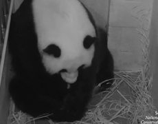 Panda gives birth to twins in Washington Zoo