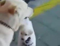 #Viral - Perrita cargando a su cachorrito en una bolsa