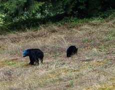 Bear with blue head is seen in Canada