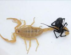 Battle to the death between a scorpion and a black widow