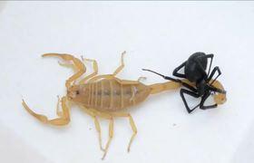 Batalla a muerte entre un escorpión y una viuda negra