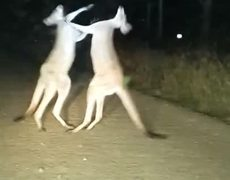 Kangaroos fighting in middle of the street