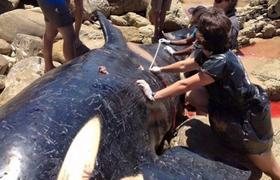 Open the stomach killer whale and look what they found