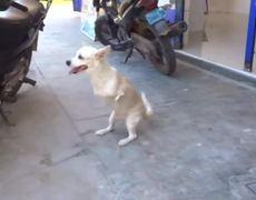 #OMG - Dog with no front legs walks like human