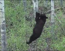 Huge Black Bear Climbs For Treat