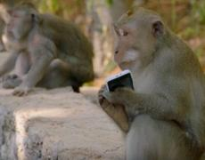 Monkey steals a iPhone and requests food to return