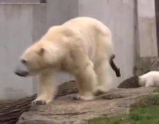 Osos Polares Gemelos Salen su primer dia en Zoologico de Munich