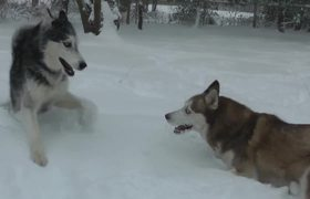 Siberian Huskies Play in New Jersey Blizzard 2016