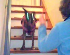 #Dog climbing stairs with style