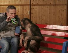 The reaction of a chimpanzee to give an iPad