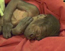 En zoológico de Bristol nace gorila por medio de una cesárea