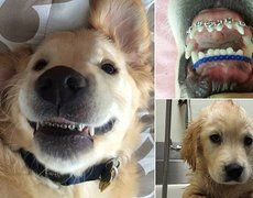 Dog wearing braces after being diagnosed with malocclusion