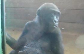 Gorila bebe juega con una niña