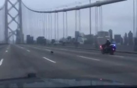 Police traffic stop in San Francisco by a chihuahua dog