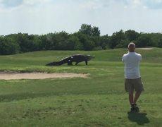 Giant Gator Walks Across Florida Golf Course