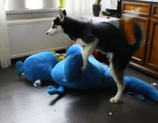 Epic husky play
