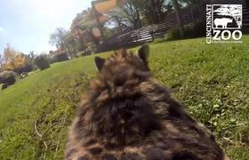 #GoPro: View of Cheetah Run [Cincinnati Zoo]