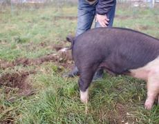 #VIRAL - How To Straighten A Pig's Curly Tail