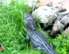 Shocking Video Shows Disney Employee Fighting Alligator