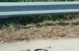 Rat Mom Saves Baby Rat From Snake