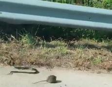 #VIRAL - Rata defiende a su cría de una víbora
