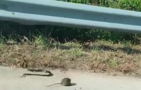 #VIRAL - Rat mom defends baby from a snake