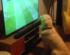 Golden Retriever loves watching football