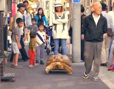 Japanese Man Takes Pet Tortoise For Walk