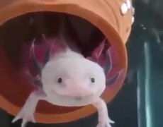Real Pokemon - Axolotl #PokemonGo