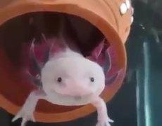 Real Pokemon - Axolotl #PokemonGo
