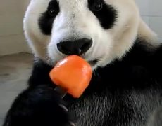 #Viral - Panda Enjoying a Popsicle