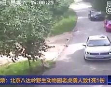 Tiger Attacks & KILLS Female Tourist at safari park in China