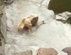 #VIRAL - Bear in appalling conditions in a zoo in Belgrade, Serbia #HELP